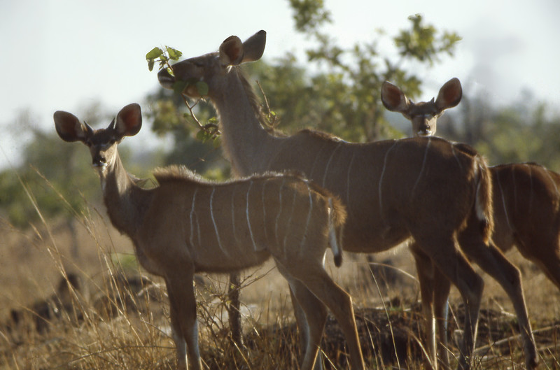 Three Kudus in Zambia; mother and two young males. Kafue Park in the dry season.