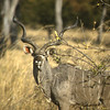 Male Kudu with double spiraling horns, white body stripes and orange ears. One of our favorite animals. Kafue Park in Zambia.