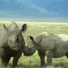 Mother Black Rhinoceros and her yearling. A rather placid animal, but don't get it angry!!! These two were in Ngorongoro Crater in Tanzania.