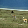 Thompson Gazelles and a Cape Buffalo in Ngorongoro Crater in Tanzania.