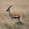 Thompson's Gazelle Sqr