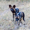 Cape Hunting Dogs H