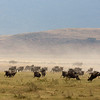 Wildebeests Ngorongoro Crater