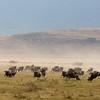 Wildebeests Ngorongoro Crater