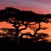 Africa Acacia Trees Sunrise