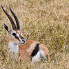 Male Thompson's Gazelle