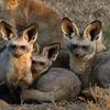 Bat-earred Foxes
