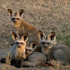 Bat-eared Fox Family