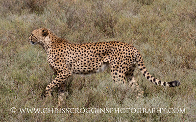 Red Cheetah Profile