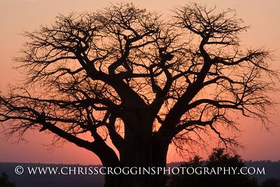 Africa Baobab Sunset