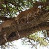 Leopard Apology