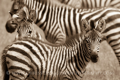 Zebra Stripes Galore