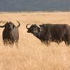 Two African Buffalos
