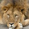 Portrait of a Lion King
