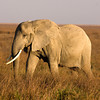 Elephant Matriarch Sqr