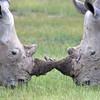 White Rhinos Jousting