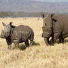 White Rhino Calf and Mother.<br /> Lake Nakuru, Kenya.