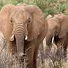 Female Elephants
