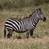 Zebra and Oxpeckers