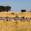 Serengeti Zebra Migration