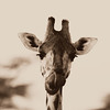 Giraffe Portrait Sqr
