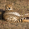 Male Cheetah Resting