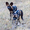 Cape Hunting Dogs Sqr