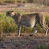 The Well-fed Cheetah