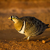 Black-necked Sand Grouse