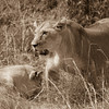Two Lioness H