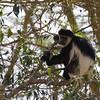 Black and White Colubus Monkey