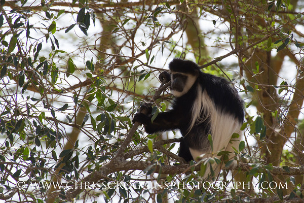 Black and White Colubus Monkey