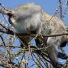 Male Vervet Monkey