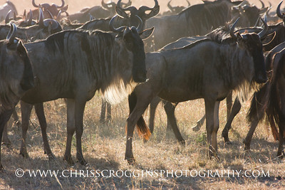 White-bearded Gnus