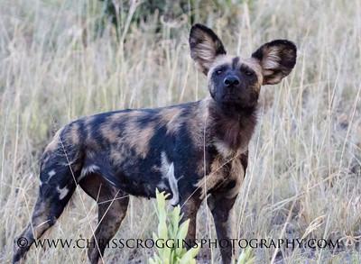 Wild Dog Inspector