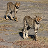 Two Cheetahs Sqr
