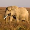 Elephant Matriarch H