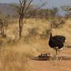 Somali Ostrich Family