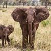 Two Young Elephants
