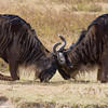 Wildebeest Aggression
