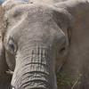 Africa Elephant 2
