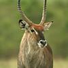 Male waterbuck (Kobus ellipsiprymnus), Masai Mara Game Reserve, Kenya