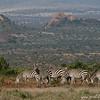 Plains zebras (Equus quagga), Mpala Research Center, Laikipia district, Kenya