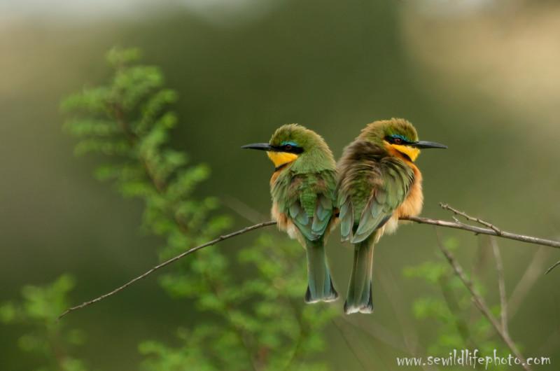 Little bee-eaters (Merops pusillus), Masai Mara Game Reserve, Kenya