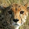 Cheetah (Acinonyx jubatus), Masai Mara Game Reserve, Kenya