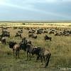 Wildebeest migration (Connochaetes taurinus), Masai Mara Game Reserve, Kenya