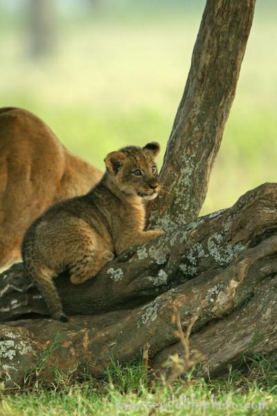 Lion cub (Panthera leo), Lake Nakuru National Park, Kenya
