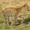 Leopard cub (Panthera pardus), Masai Mara Game Reserve, Kenya