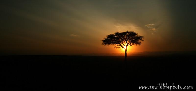 Acacia tree silhouette, Masai Mara, Kenya