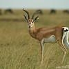 Grant's gazelle (Nanger granti), Masai Mara, Kenya